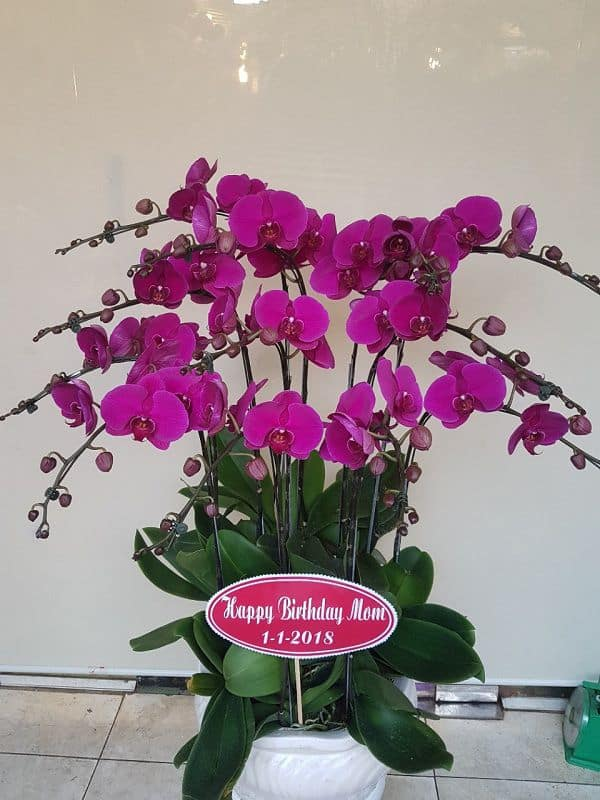 Hoa lan hồ điệp tím đẹp