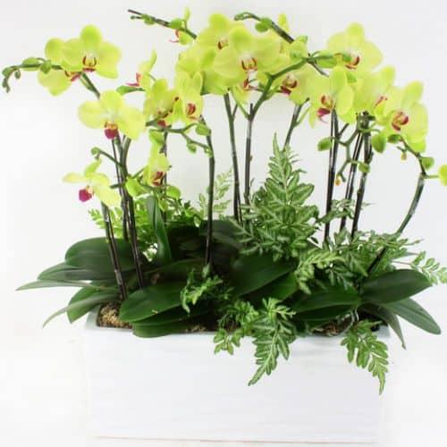 Hoa lan ho diep mau xanh
