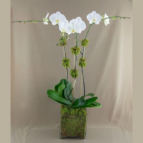 Hoa lan ho diep mau trang dep