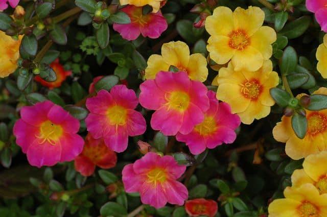 hình ảnh đẹp hoa mười giờ 1