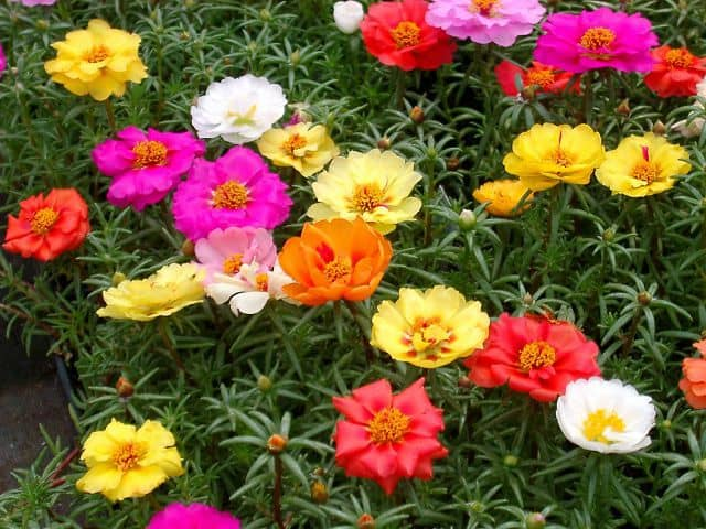 hình ảnh đẹp hoa mười giờ 3