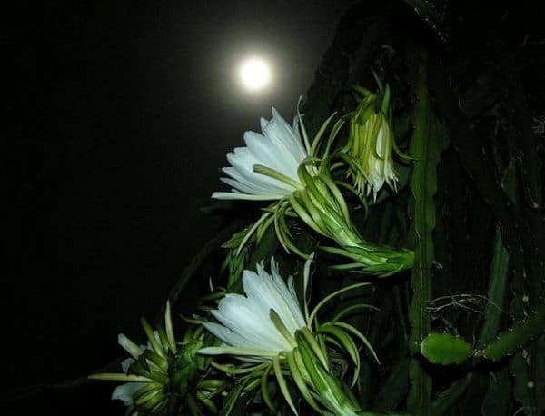 hoa quynh dep 1