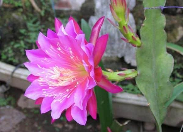 hoa quynh dep 4
