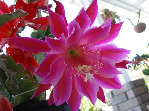 hình ảnh đẹp hoa quỳnh 2