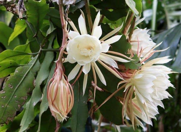 Hoa quỳnh nhiều hoa
