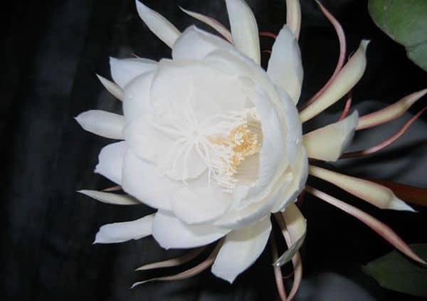hinh anh dep hoa quynh 2