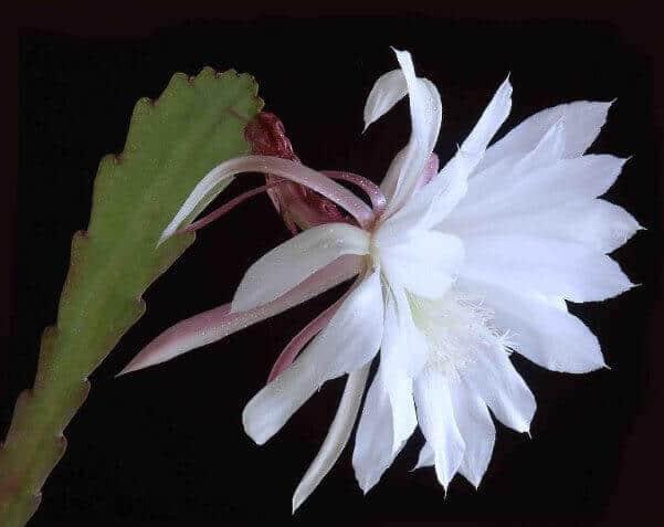 hoa quynh dep