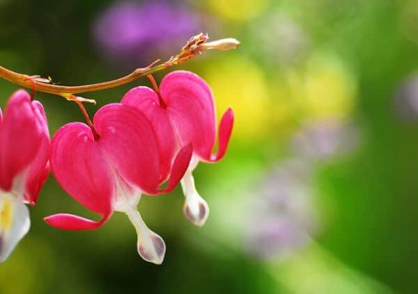 hinh anh dep hoa tigon 4
