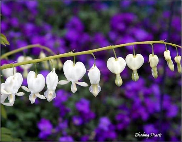 Hoa tigon màu trắng 4