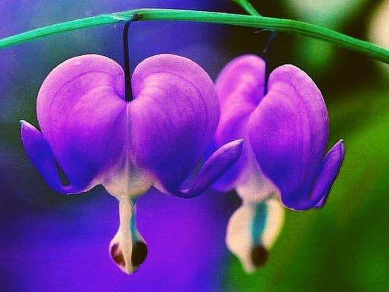 Hoa tigon màu tim7