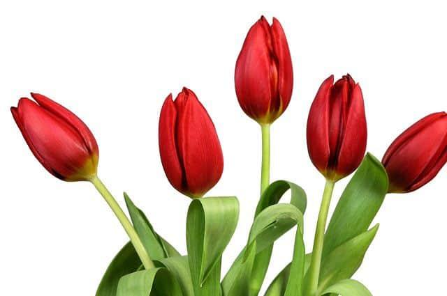 Anh dep hoa tulip do