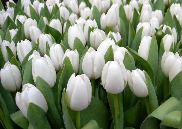 tulip trang