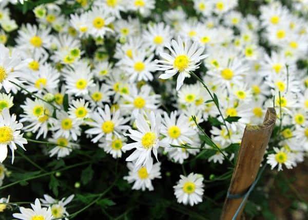 hoa cúc họa mi đẹp nhất 2