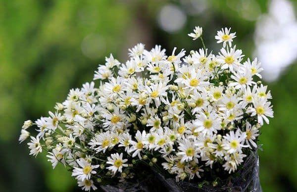 hoa cuc hoa mi 3