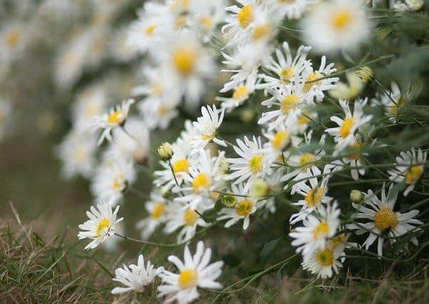 hoa cuc hoa mi 4