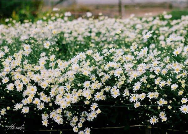 hoa cúc họa mi đẹp nhất 5