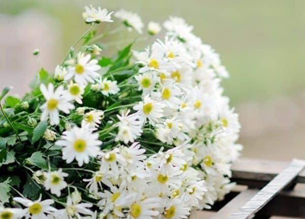 ý nghĩa hoa cúc họa mi 2