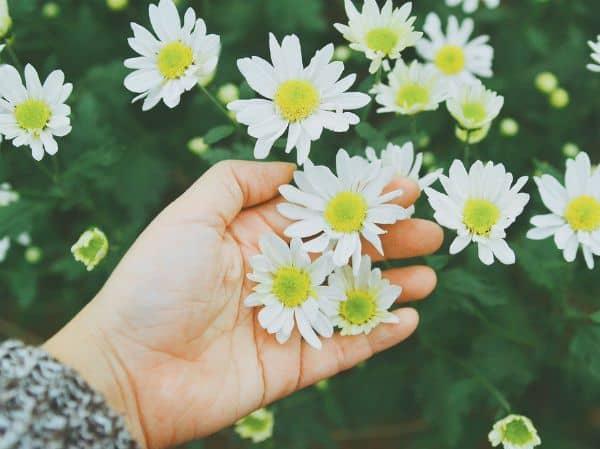 ý nghĩa hoa cúc họa mi 5