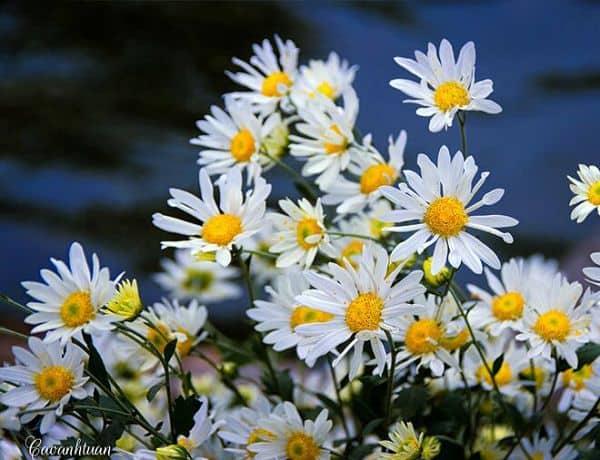 hoa cúc họa mi đẹp nhất 3