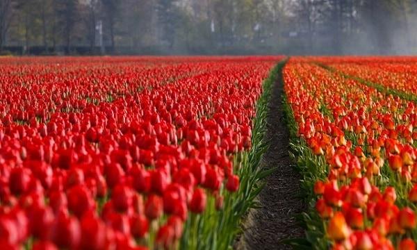 Vuon hoa tulip do