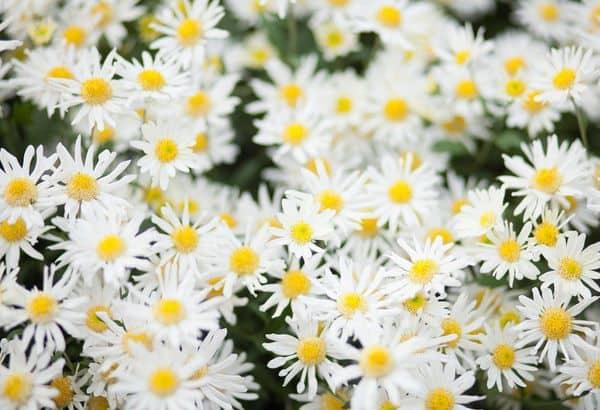 hoa cuc hoa mi dep nhat the gioi 7