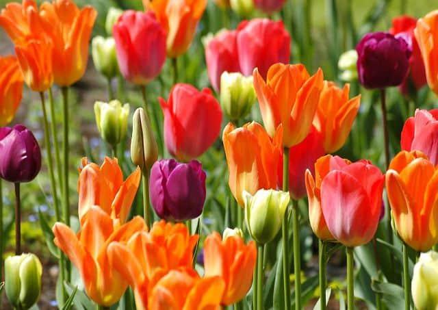 anh hoa tulip cam