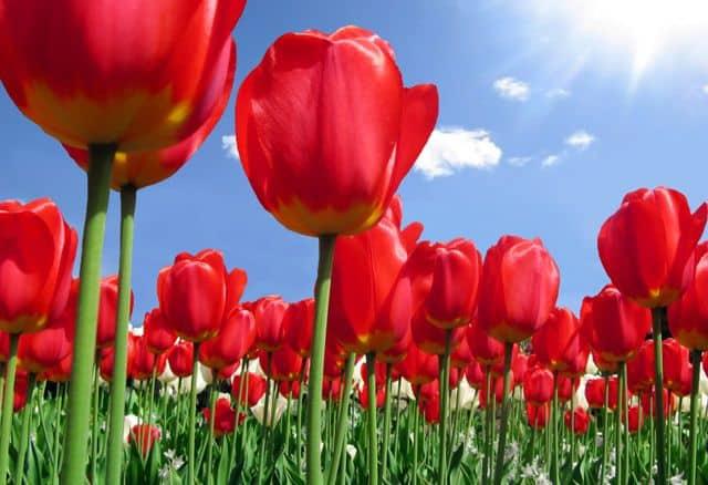 tulip do