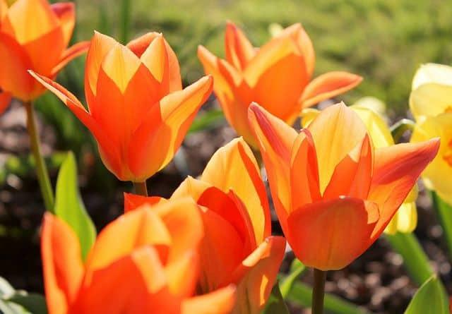 hinh anh dpe hoa tulip mau cam