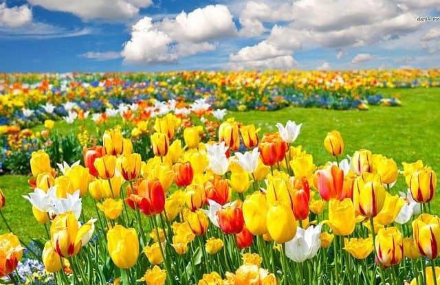cánh đồng tulip