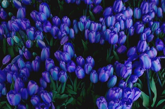 hoa tulip màu xanh