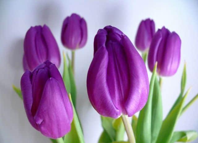 Hoa tulip tim hue