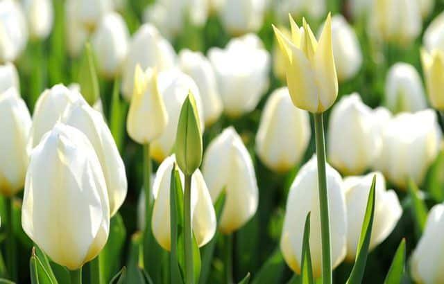 ảnh đẹp hoa tulip trắng