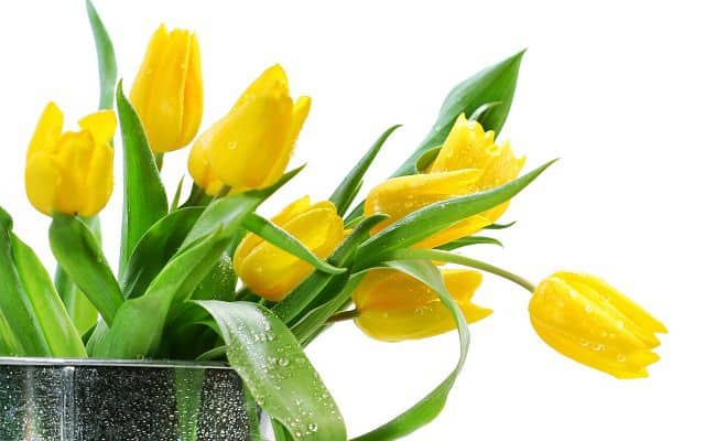 anh dep hoa tulip vang