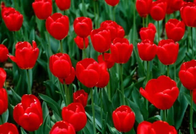 Hoa tulip do dep