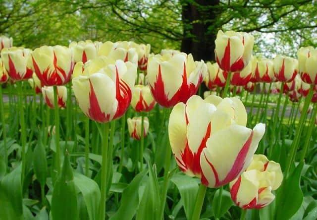 anh dep hoa tulip
