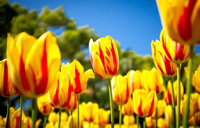 tulip dom