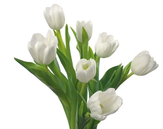 hình hoa tulip màu trắng