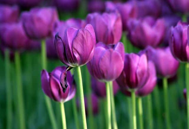 anh dep hoa tulip tim