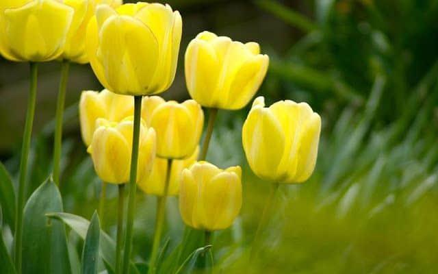hoa tulip vang dep