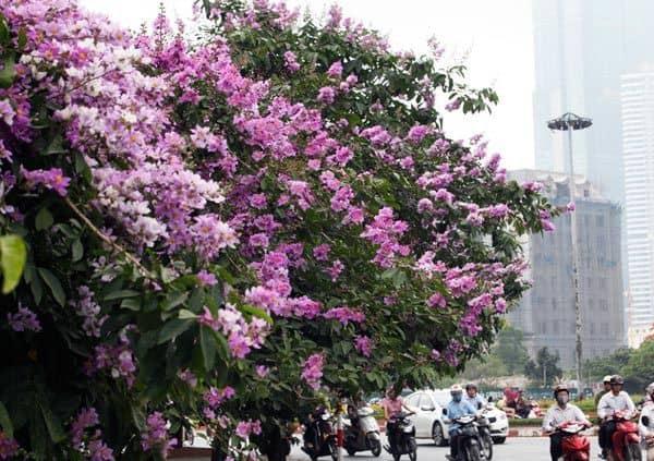 hoa bằng lăng tím 2