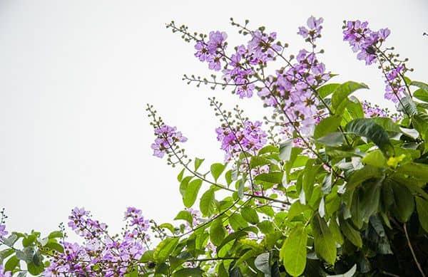 hoa bằng lăng tím 3