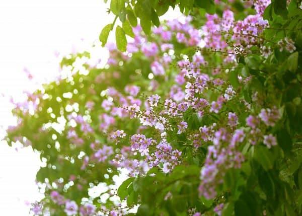 hoa bằng lăng tím 4