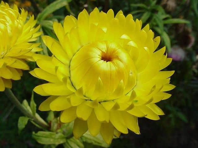 Hoa cúc tượng trưng cho mùa thu