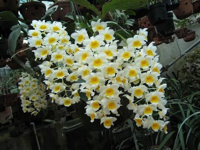 hoa lan mùa hè