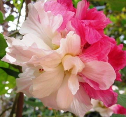 Hoa phu dung