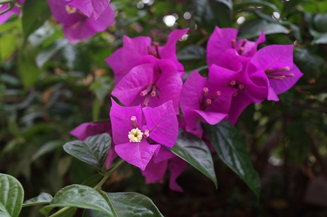 hoa giấy màu hồng