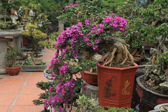 Chậu hoa giấy bonsai đẹp