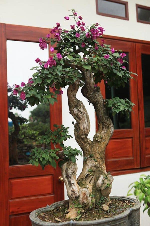 hoa giấy bonsai đẹp nhất