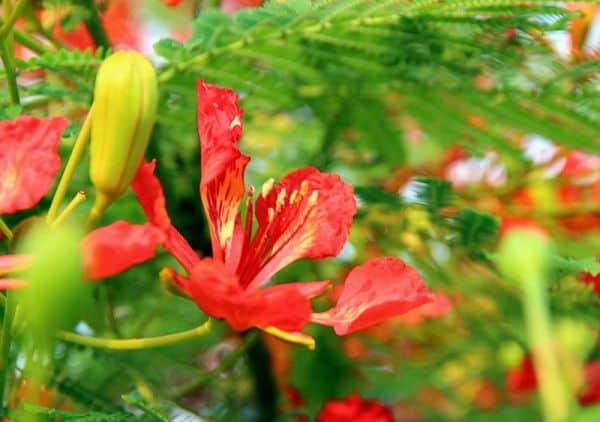 hoa phung vi