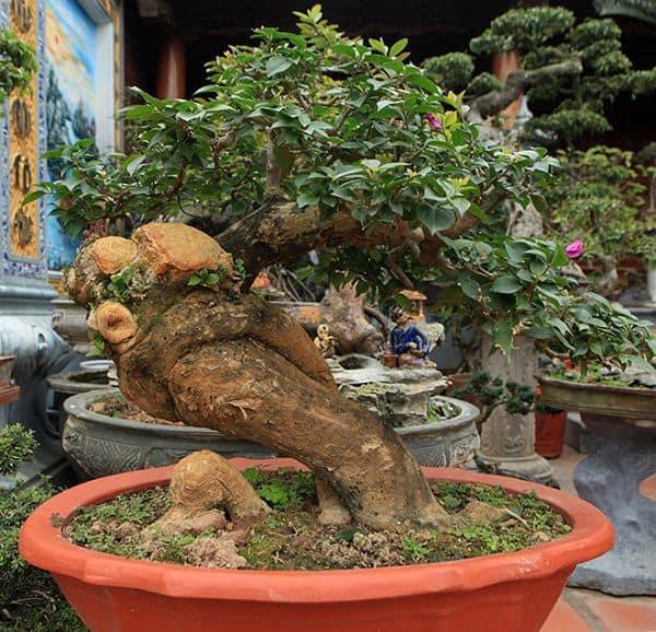 cây bonsai hoa giấy siêu đẹp